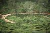 Ella, Sri Lanka (colinhoran83) Tags: tea teaplantation field teafield tuktuk ella teacountry srilanka travel