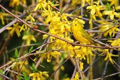 Yellow warbler (jimbop22001) Tags: