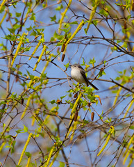 Little Gnatcatcher (John Kocijanski) Tags: bluegraygnatcatche bird animal tree perched wildlife nature canon70300mmllens canon7d