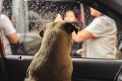 need a lift, humans? (santi.gual) Tags: pug pugs dog dogs pet pets car rain nikond5000 yongnuo35mmf2n 35mm 50mm