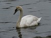 0179 Juvenile Mute Swan - last years cygnet (Andy - Busy Bob) Tags: ccc cygnet jjj juvenile lake lll mmm muteswan sss swan water www