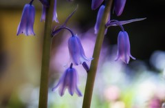 Soft focus Spanish Bluebells (photofitzp) Tags: flowers garden spanishbluebells spring wildflowers blubells blue canon colours pastelcolours pink