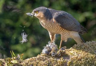 JWL3382  Sparrowhawk...