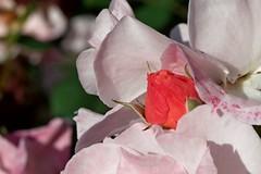 Fiori di maggio (Lovecraft 77) Tags: fiori flowers natura nature macro rosa rose