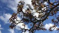 Norway Maple (Acer platanoides) - flowers & branches - April 2018 (Exeter Trees UK) Tags: norway maple acer platanoides flowers branches april 2018