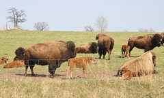 2018 crop (Jeannette Greaves) Tags: 2018 bison buffalo crop spring 240