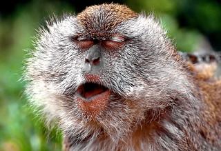 Yawning greybeard