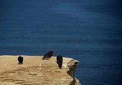 Les trois gardiens à tête rouge. Paracas, Pérou. (Inti Runa) Tags: gallinazodecabezaroja cathartesaura vautour paracas peru bird fantasticnature nature canoneosm5 canonefm18150mm tourism adventure digitalnomad fauna