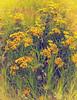 Tansy / Пижма (VikTori_kvl23) Tags: flower bloom flowers nature beauty closeup macro bright russia plants yellow пижма tanacetum tansies tansy