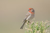 House Finch (Amy Hudechek Photography) Tags: house finch spring colorado amyhudechek
