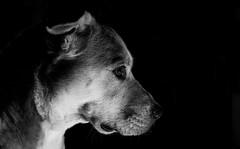 Low Key (VisualTheatrics) Tags: photography photograph pointofview portrait portraits portraiture pov dslr detail digitalphotography day dog dogportrait dogportraits rescuedog dogs mono monochrome mood moody blackandwhite beautiful beauty bnw blacknwhite