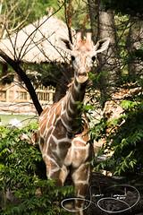 Buddy (shutterbugdancer) Tags: africansavanna animals reticulatedgiraffe fortworthzoo fortworth
