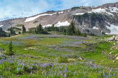 Meadow of Lupin wildflowers and ridge leading to Gilbert Peak (Ken Zaremba) Tags: cascademountains geography goatrockswilderness northamerica outdooractivities outdoorsports snoqualmienationalforest unitedstates washington washingtonstate backpacking camping hiking yakima geo:lon=12137995719444 geo:lat=46495526611112 geo:country=unitedstates geo:state=washington geo:location=unnamedroad geo:city=yakima
