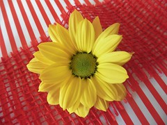Chrysantheme, Explored on May 10th 2018 (Hannelore_B) Tags: blume flower chrysantheme chrysantemus macro textures macromademoiselle