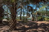 Sabal Palmetto - Dubois Park - Jupiter - Florida - 08 May 2017 (goatlockerguns) Tags: sabal palmetto dubois park jupiter florida palm beach county unitedstatesofamerica usa nature natural ocean atlantic south southern southeast