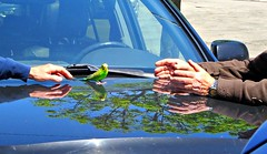 Reach out a helping hand today... (Trinimusic2008 -blessings) Tags: trinimusic2008 judymeikle nature today bird budgie ottaviaandjoe spring reflections car hood toronto to ontario canada sonydschx80