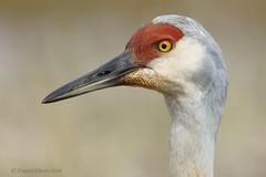 The non-stressed Sandhill Crane look... (danielusescanon) Tags: wild sandhillcrane antigonecanadensis gruiformes gruidae belugaslough homer alaska closeup headshot
