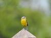 Yellow Wagtail (Corine Bliek) Tags: vogel vogels bird birds wildlife nature natuur spring voorjaar colourfull kleurrijk motacillaflava yellow geel