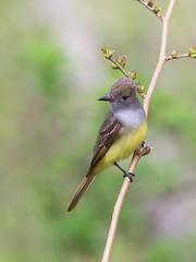 Great Crested Flycatcher (mandokid1) Tags: canon 1dx ef400mmdoii birds flycatchers