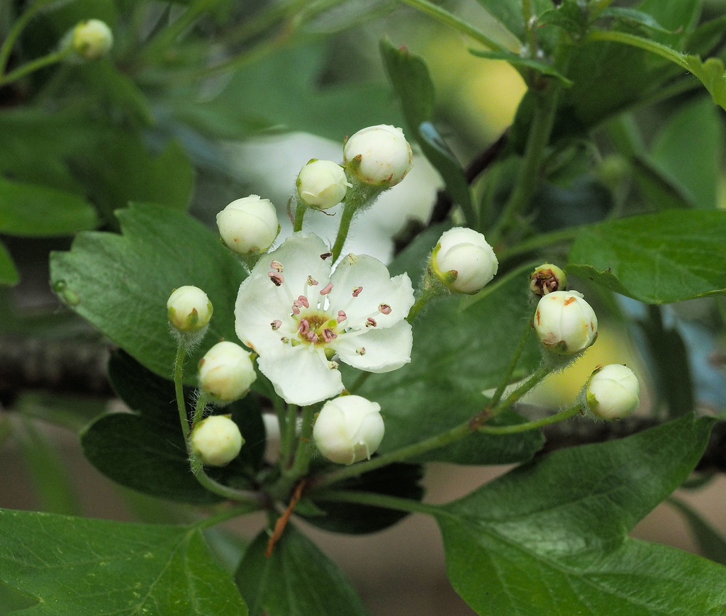 The Worlds Most Recently Posted Photos Of Hawthorn And White