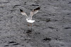 Hop, hop and away! (armct) Tags: larusargentatus splash floating water waterbird launching flying flight takeoff riverness turbulent river seagull gull herringgull