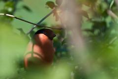 Bullfinch (k.boder) Tags: sverige aves vogel birds sweden pyrrhulapyrrhula domherre forest bird fåglar oiseaux eurasianbullfinchcommonbullfinch woods oiseau vögel fågel