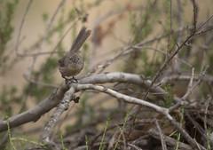 Wrentit 3 (brian.magnier) Tags: california san diego birds animals wildlife nature desert arid scrub habitat mission trails park