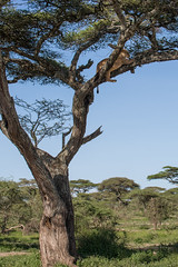 Yes, it's a lion (Ring a Ding Ding) Tags: africa bigcat lion ndutu nomad pantheraleo serengeti tanzania cat nature predator safari treelion wildcat wildlife
