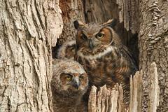 Great Horned Owl - May-06-2018 (63-1) (JPatR) Tags: 2018 greathornedowl illinois kanecounty may owl spring bird nature wildlife