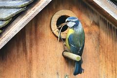 DSC 4552 (Charli 49) Tags: charli nature naturfotografie garten tier animal vogel bird blaumeise nistkasten nestbau nikon d7000