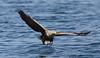 White Tailed Eagle (Pikingpirate1) Tags: white tailed sea eagle wild mull fish ngc rspb