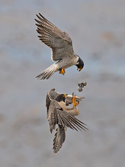The drop (knobby6) Tags: peregrine tiercel hawk birdofprey raptor california nikond5 500mm