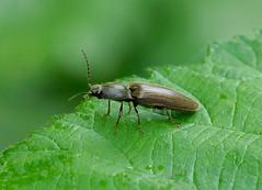 Click Beetle --- Athous haemorrhoidalis (creaturesnapper) Tags: elateridae clickbeetles coleoptera europe uk insects athoushaemorrhoidalis
