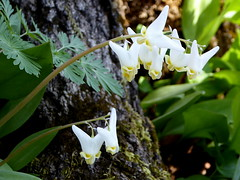 Dutchman's breeches (yooperann) Tags: wildflowers upper peninsula michigan alger county laughing whitefish waterfall state scenic area spring