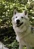 Amarok, der Wolf (vio.nurfiktion) Tags: wolf wolve handraised wolfsciencecenter outdoor spaziergang walk wildanimal animal animalphotography whitewolf austria ernstbrunn