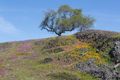 815A1810 Hillside alive with colors (hobbitcamera) Tags: northtablemountainecologicalreserve tabletopmountain northtablemountainecologicalreservetabletopmountain oroville orovillecalifornia wildflowers flowers hiking colorfulflowers buttecounty tabletopmtn oaktree