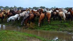 Espíritu libre. Free spirit. (.Guillermo.) Tags: caballos caballo horses horse animal nature naturaleza paisaje paisajes landscape landscapes nikon