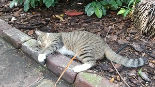 Hemingway House cat plays with a palm frond