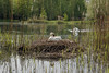 The mute swan at the brood <> Der Höckerschwan bei der Brut (K-PIXEL-N) Tags: schwan höckerschwan teich see