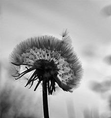 365 - Image 116 - Dandelion... (Gary Neville) Tags: 365 365images 5th365 photoaday 2018 sony sonyrx10iv rx10iv rx10m4 m4 garyneville