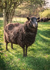 Matriarch (SomethingUWontForget) Tags: sheep mom mother protector green farm lamb nikon d7200 nature