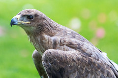 Tawny Eagle (primosavage) Tags: tawny eagle icbp international center for birds prey