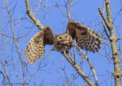 Great Horned Owl in flight. (Estrada77) Tags: greathornedowl raptors distinguishedraptors wildlife spring2018 april2018 inflight nikond500200500mm nikon d500 birdsofprey birding
