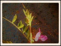SPRING FLOWER AT THE ANGEL'S TABLE (Poppy ♥ Cocqué ♫) Tags: vetch flower wildflower pipe earthenware fleur flora ap poppy p🍀ppy tiny macro vicia peafamily fabaceae fabeae plantae genus faboideae