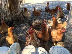 curious cluckers IMG_4111 (mygreecetravelblog) Tags: greece crete southwestcrete greekisland island greekislands paleochora paleochoracrete palaiochoracrete outdoor chickens birds chickencoop