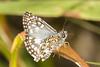 mariposa - moth (ricardo japur) Tags: animals fauna cerrado wild nature