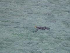 DSC_0140 (tkanabayashi) Tags: turtle breathing seaturtle okinawa tokashiki