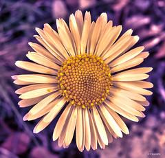 Margarita (KRAMEN) Tags: margarita flor pétalos asteraceae