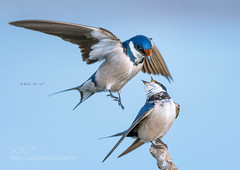 African Blues (KevinBJensen) Tags: nature national park photograph natural world animal birds bird birdwatching flight eye view two blue white togetherness