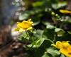 Marsh marigolds (Lynnemvt) Tags: nature flower wetland perennial swamp creek stream ditch yellow green plant buttercup woodland bog wildflower sepal floating